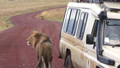 Lion has stopped a car full of fresh humans. Tanzania Stock Footage