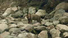 Bear Sat on a Stone Stock Footage