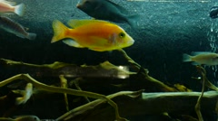Beautiful Fish in a Fish Tank Stock Footage
