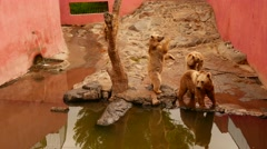 Brown Bears Captured in the Zoo Stock Footage