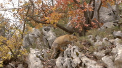 Red fox, foraging through the cracks of the rocks in the mountains Stock Footage