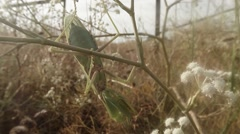Female mantis hanging on a branch of white wildflowers in a thicket of grass Stock Footage
