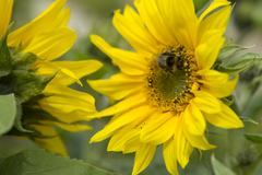 Bee taking pollen from a sunflower - stock photo