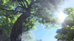 Big Tree, Slowly Moving Up Stock Footage
