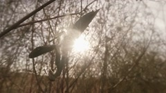 Stock Video Footage of Female Mantis in The Branches of the sun grass Swaying in The Wind close up