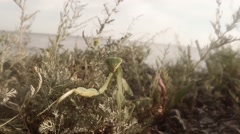 Female mantis crawl on close-up by the sea wormwood Stock Footage