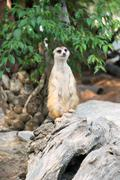 Alert meerkat (Suricata suricatta) standing on guard Stock Photos