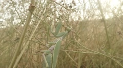 Female mantis crawling in the branches of green grass close up Stock Footage