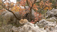 Red fox foraging among the rocks in an autumnal landscape Stock Footage