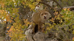 Red fox in the forest Stock Footage