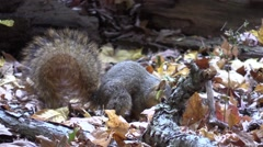 Fox squirrel eating acorn on forest floor nature autumn animal Stock Footage