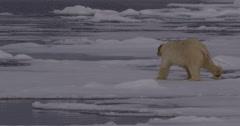 Slow Motion - Polar Bear Walking Across Pack Ice Stock Footage