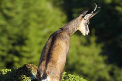 chamois looking down the abyss ( Rupicapra carpatica ) - stock photo