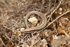 Lacerta vivipara camouflaged in natural habitat ( viviparous lizard ) Stock Photos