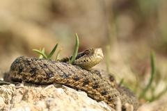 male vipera ursinii rakosiensis, teh elusive meadow viper, specie on red list - stock photo