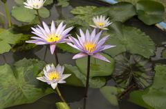 lotus garden insect Buddhist religion water lily concept - stock photo