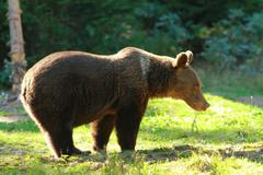 Funny wild brown bear in a glade ( Ursus arctos ), image taken in Harghita mo Stock Photos