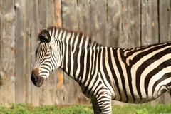Close up of a zebra at the zoo Stock Photos