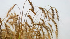 Field of golden rye close up Stock Footage