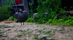 Helmeted guineafowl clean itself Stock Footage