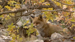 Red fox sitting under a deciduous tree in autumn Stock Footage