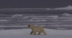 Polar Bear Tests Slides and Rolls on Snow to Dry off Stock Footage