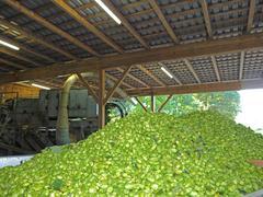 Germany ripe Hops flower soting machine Stock Photos