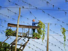 Foreign worker Farmer cleaning Hops rest on metal line - stock photo