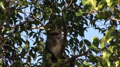 Sykes' Monkey feed and give warning call 1 Stock Footage