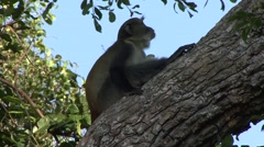 Sykes' Monkey sit in tree and give warning call 1 Stock Footage