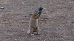 Unstriped Ground Squirrel feeding on ground Stock Footage