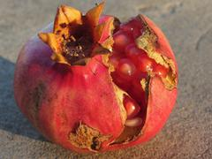 Pomegranate fruit with visible grains . Shooted at golden hour - stock photo