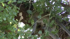 Vervet Monkey feeding on berries in tree Stock Footage
