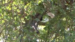Vervet Monkey feeding on berries in tree Stock Footage
