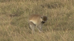 Vervet Monkey feeding on the savanna Stock Footage