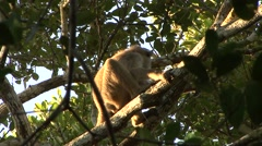 Vervet Monkey urinating from tree Stock Footage