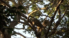 Yellow Baboon family move in tree Stock Footage