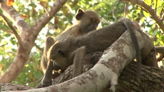 Yellow Baboon family play in tree Stock Footage