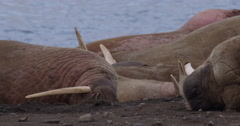 Slow motion - sleepy walruses head in sand Stock Footage