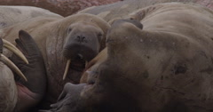 Slow motion - sleepy walrus scratches self with flipper Stock Footage