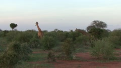 Maasai Giraffe family feeding in bush 1 Stock Footage