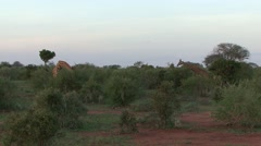 Maasai Giraffe family feeding in bush 2 Stock Footage
