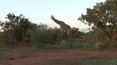 Maasai Giraffe male feeding in bush 3 Stock Footage