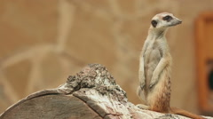 Meerkat looking out for danger and ready to signal an alarm. Stock Footage