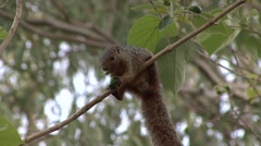 Red-legged Sun Squirrel feeding on nut in tree 1 Stock Footage