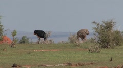 Somali Ostrich male and female feeding Stock Footage