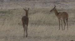Southern Reedbucks walking on plain in Amboseli Stock Footage