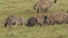 Spotted Hyena group feed on carcass 3 - stock footage