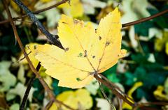 autumnal yellow maple leaves - stock photo