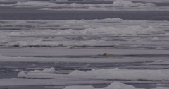 Polar Bear Struggles Out of Ocean And Walks Away Across Ice Arkistovideo